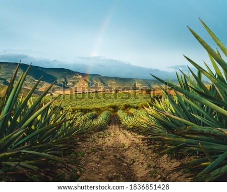 Agave field Oaxaca mezcal Mexico