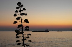Agave inflorescence in the foreground. Selective focus. Silhuette of bulk carrier in the background. Summer evening landscape in Taranto, Italy.