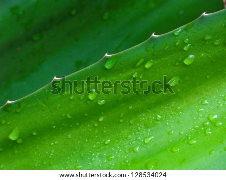 Agave leaf after summer rain in close up