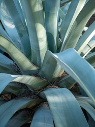 Agave leaves spread out from the center of the plant.