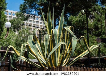 Agave Mexican (Agave americana) striped against background of evergreen plants. Close-up. Genus Agave, Agave subfamily, Asparagus family in landscape city park of resort town of Adler.. Sochi.
