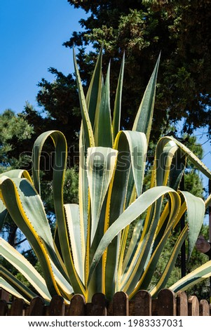 Agave mexican (Agave americana) striped against blue spring sky. Close-up. Agave genus, Agave subfamily, Asparagus family in landscape city park of resort town of Adler. Sochi.
