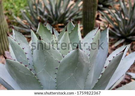 Agave Parryi, Parry's agave, Mexican mescal agave, leaves with spine at the tips, close up.