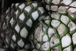 Agave piña that the jimadores cut using a special knife called a coa from the agave plant.