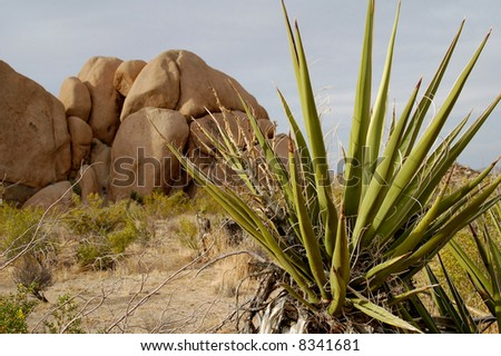 Agave Plant and Jumbo Rocks in Joshua Tree National Park