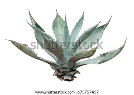 Agave plant isolated on white backgroumd. clipping path. Agave plant tropical drought tolerance has sharp thorns.