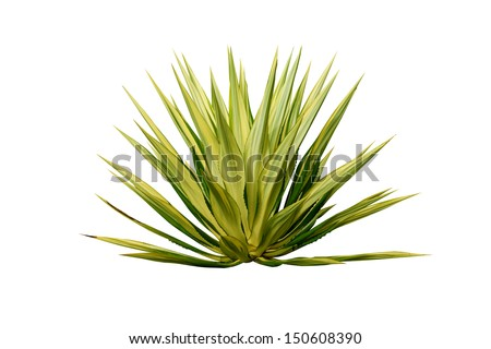 Agave plant isolated on white background.
