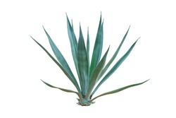 Agave plant isolated on white background. clipping path. Agave plant tropical drought tolerance has sharp thorns