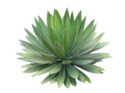 Agave plant isolated on white background.This has clipping path.