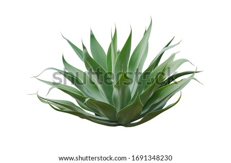 Agave plant isolated on white background.This has clipping path. Foto stock ©