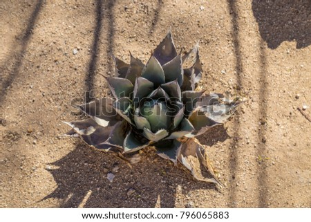 Agave plant view from above background texture tequila desert dirt sand wallpaper garden
