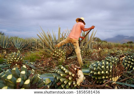 Agave Tequila Jalisco, the farmer is cutting and pushing the agave plant with his foot.