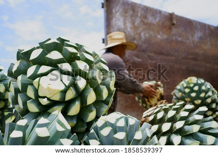 Agave Tequila Jalisco, the farmer is putting the agave in the truck.