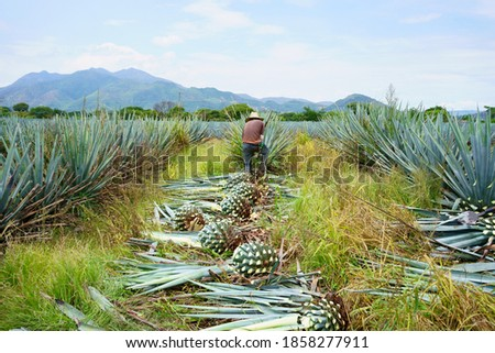 Agave Tequila Jalisco, the workers are in the field cutting the agave plants.