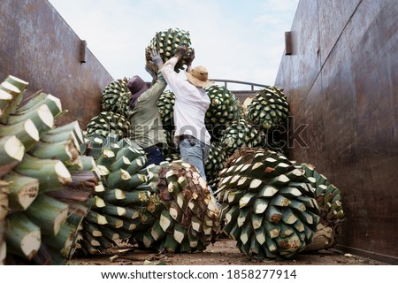 Agave Tequila Jalisco, the workers are throwing an agave ball at the truck.