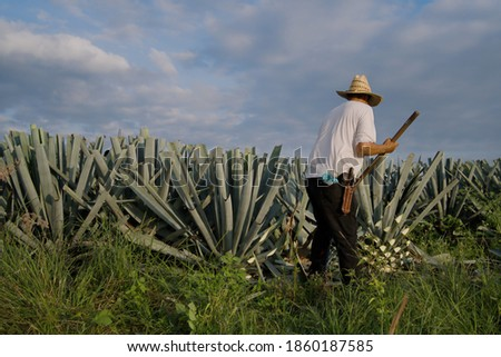 Agave Tequila Mexico, The farmer is finishing cutting the leaves of an agave plant.