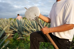 Agave Tequila Mexico, the farmer is sharpening his tool to cut the agave plants.