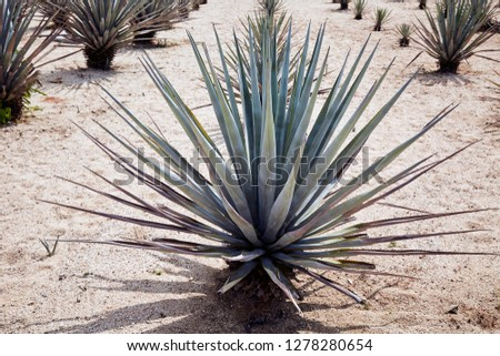 Agave tequilana, commonly called blue agave (agave azul) or tequila agave plants on a field, garden or plantation on a hot sunny day