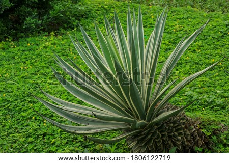 Agave tequilana, commonly called blue agave (agave azul) or tequila  growing in garden. Plantation of blue agave plant to distill mexican tequila liquor against nature background