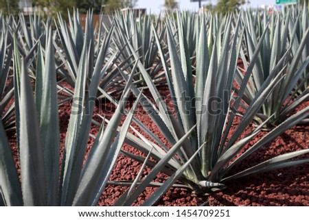 Agave tequilana, commonly called blue agave or tequila agave, is an agave plant that is an important economic product of Jalisco, Mexico