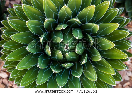 Agave victoriae-reginae (Queen Victoria agave, royal agave) is a small species of succulent flowering perennial plant, noted for its streaks of white on sculptured geometrical leaves.