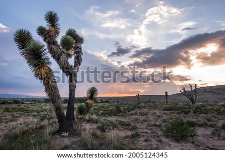 Agaves Magueyes Mezcal Desierto Paisaje Foto stock ©