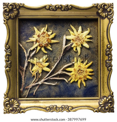 aged antique dried edelweiss in ...