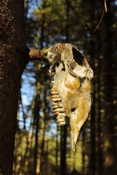 Aged sheep skull on a tree