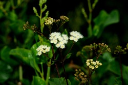 Ageratina adenophora, commonly known as crofton weed or sticky snakeroot, flourishing.