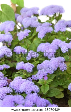 Ageratum blossom. Isolated on white, shallow DOF