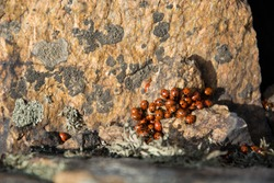 Aggregation of ladybirds on a rock face