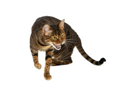 Aggression cat breed Toyger hisses. Isolated on a white background.