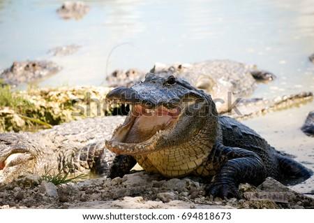 Aggressive Alligator #694818673