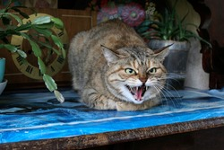 Aggressive, angry cat. The domestic cat is angry and growls.