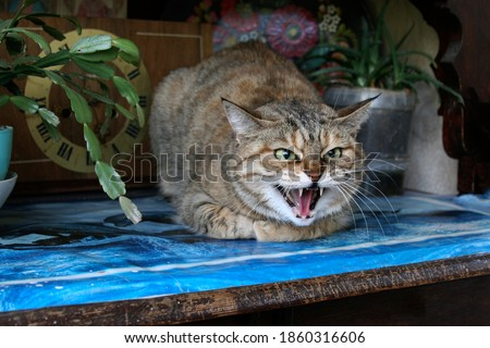 Aggressive, angry cat. The domestic cat is angry and growls. Сток-фото ©