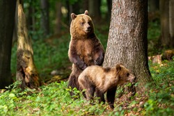 Aggressive brown bear, ursus arctos, mother standing on rear legs and protecting its cub in summer forest with copy space. Adult female mammal guarding her young offspring in nature