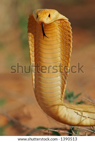 Aggressive Cape cobra (Naja nivea) with flattened hood, Kalahari, South Africa