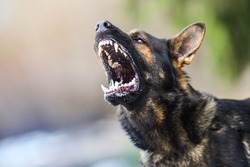 Aggressive dog shows dangerous teeth. German sheperd attack. Head detail Little blur panning move.