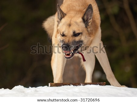 Aggressive dog with a stick in winter forest