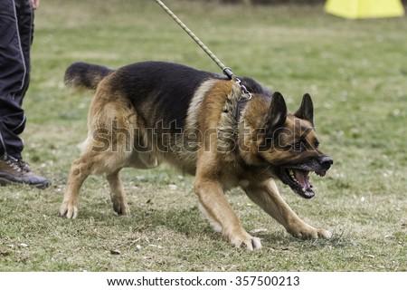 Aggressive german shepherd