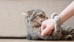 Aggressive gray cat attacked the owner's hand. Beautiful cute cat playing with woman hand and biting with funny emotions.