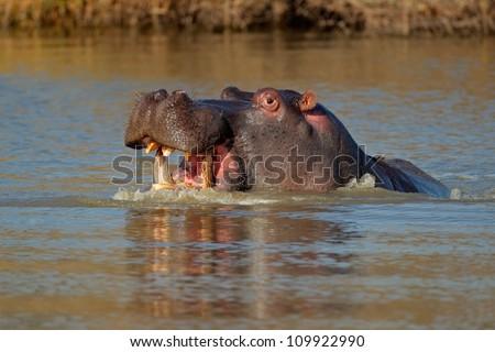 Aggressive Hippopotamus (Hippopotamus amphibius) with open mount in water, South Africa
