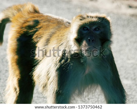 Aggressive male rhesus macaque (Macaca mulatto) would beg for food from tourists. If you do not give food can be attacked by the beast, rhesus monkey attack, evil macaque