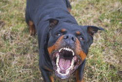 Aggressive Rottweiler barking mad
