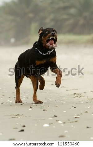 aggressive Rottweiler dog (the dog was running , in fact this breed is not aggressive at all)