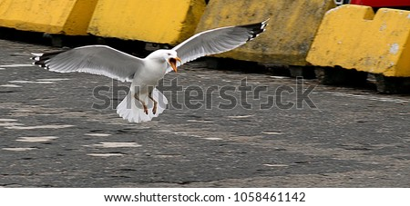 Aggressive seagull about to land on cracked asphalt surface.