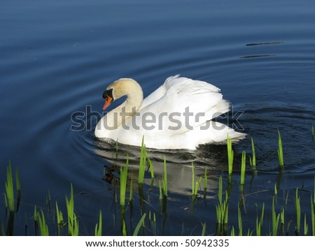 Aggressive white Mute Swan (Cygnus olor) defends his breeding
