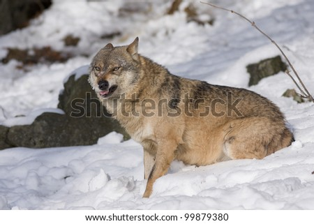 Aggressive wolf on the snow