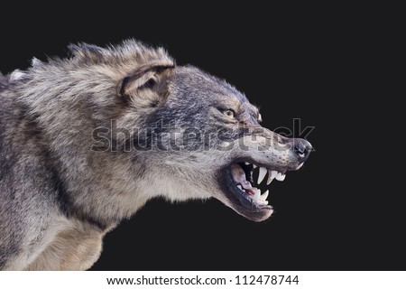 Aggressive wolf stuffed #112478744