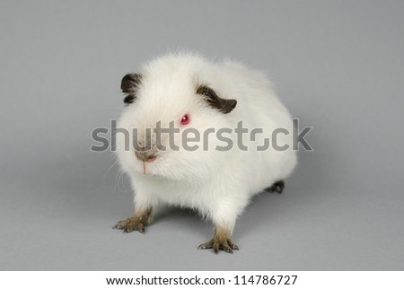 agile little Himalayan US-Teddy guinea pig